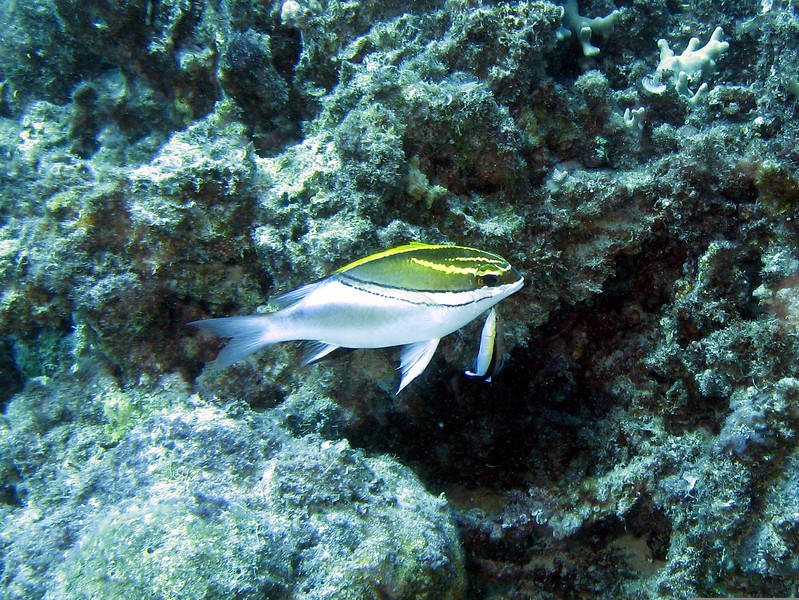 Bridled Monocle Bream with Cleaner fish