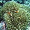 Pink Anemonefish with Anomone