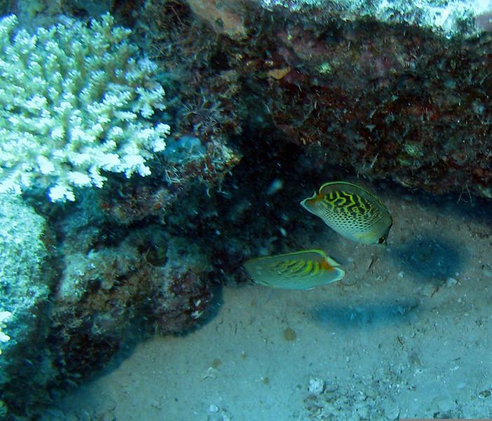 Dot & Dash Butterflyfish