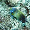 Semicircle Angelfish