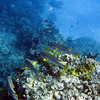 Diagonal-Banded Sweetlips