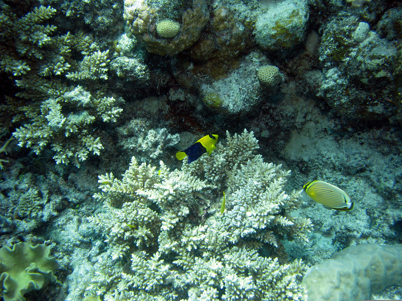 Bicolor Angelfish And Redfin Butterflyfish