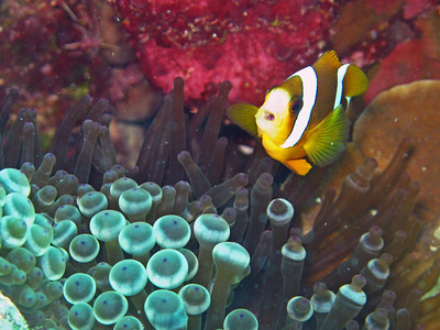 Scuba diving at Great Barrier reef - clown fish