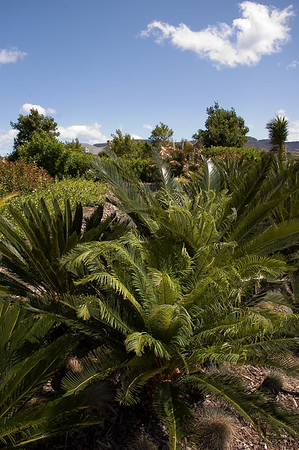 Cycad Hunter Gardens Hunter Valley - NSW Australia - 29 Sep 2005