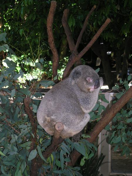 Kinky koala