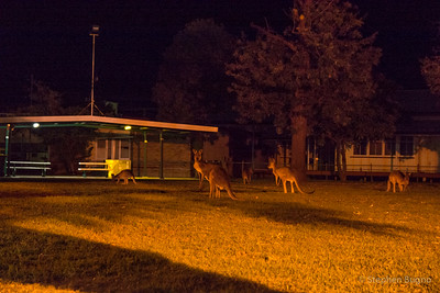 A roo at night in Longreach, QLD.