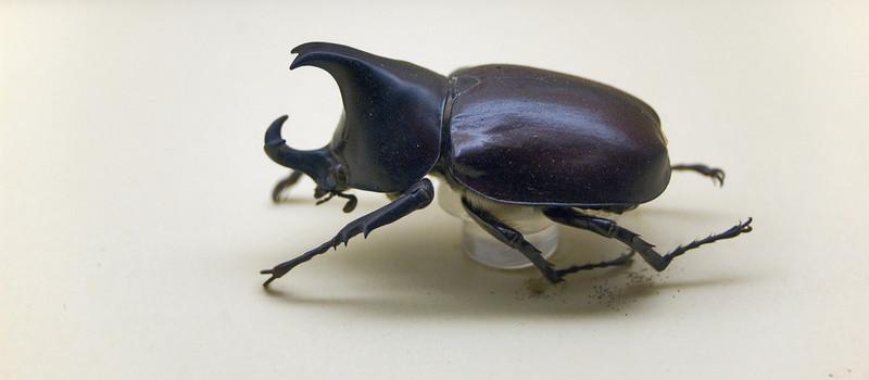 Rhinoceros beetle Australian Museum Sydney, NSW Australia - 20 Jun 2006