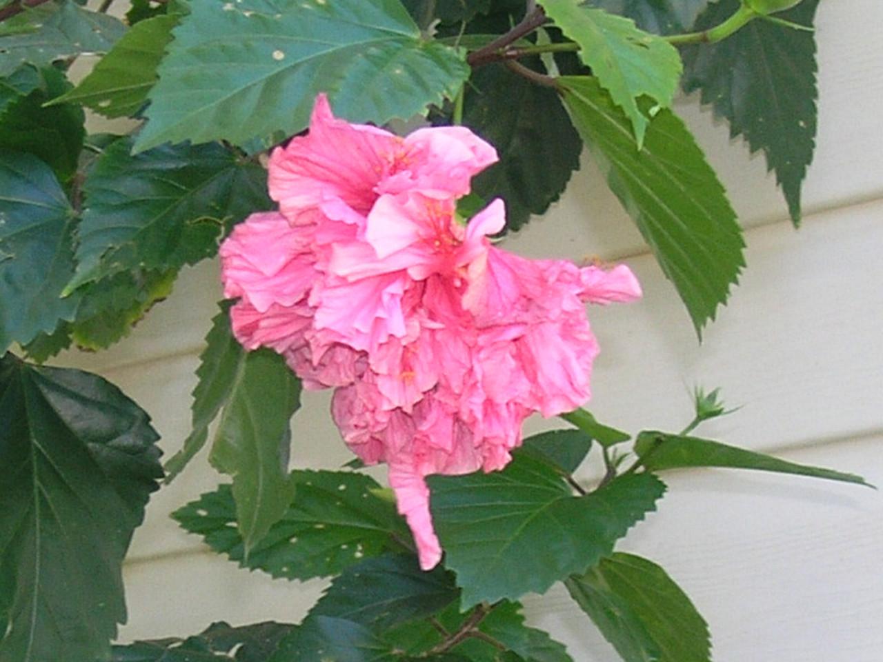 Flower from Holly's Mum's garden