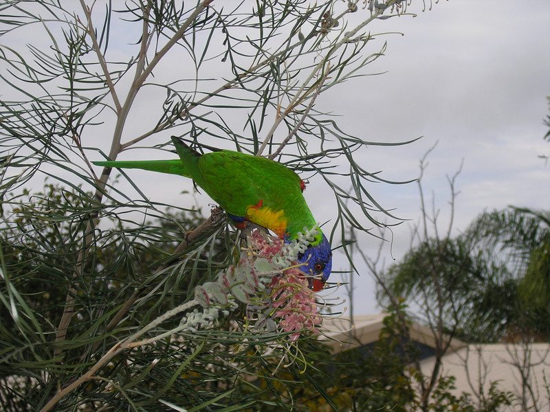 Rainbow lorikeet at Wamberal