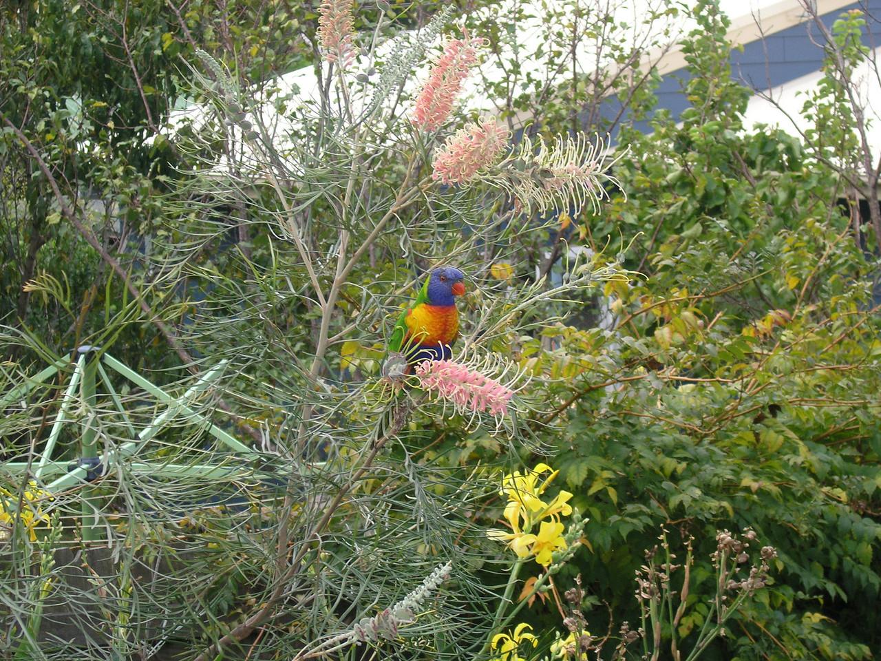 Rainbow lorikeet at Wamberal