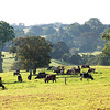 The Gallagher's dairy farm in Clunes, Northern Rivers, NSW, Australia