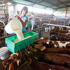 Megan Gallagher feeds the young calves at her farm in Clunes, NOrthern Rivers, NSW, Australia