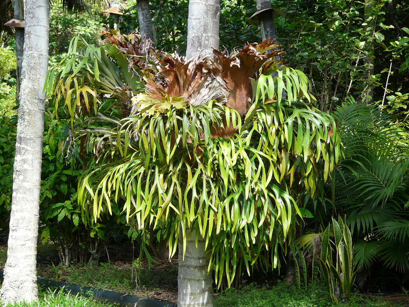 Sunday - Another large Staghorn.