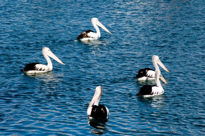 Pelicans Coffs Harbour, NSW Australia - 19 Jun 2006