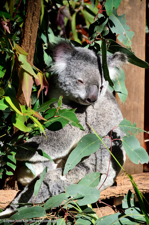 Meeting Koalas at the Lone Pine Koala Sanctuary in Brisbane, Queensland, Australia.