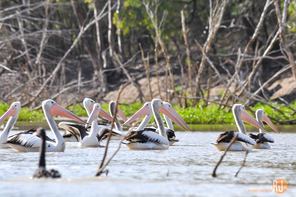 Pelicans on the Warrego River