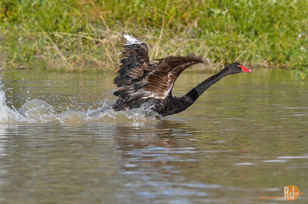 Black swan on the Warrego River