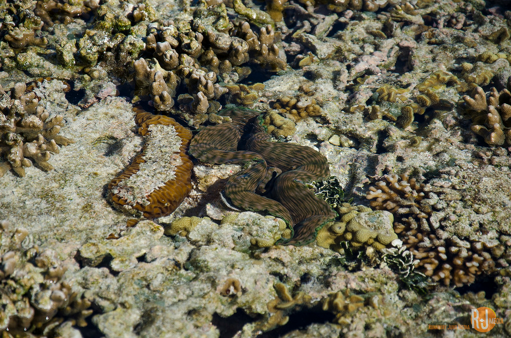 Giant clams are a regular residence in the coral bed