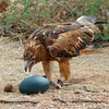 Australian Brown Falcon uses a small, rounded rock to break into his food - an Emu egg.  (This egg is especially made by the caretakers at Desert Park near Alice Springs to be like an emu egg without sacrificing a real emu chick.)<br /> Dec. 21, 2007