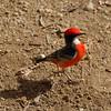 Crimson Chat (or Red-capped Robin ?) at Desert Park near Alice Springs.<br />    Dec. 21, 2007