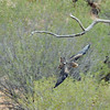 A bird of prey (? wedge-tailed eagle) at the Desert Park near Alice Springs.<br />   Dec. 21, 2007
