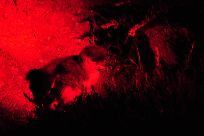 Weekend on Kangaroo Island - Little Penguins. In order not to disturb them I use no flash - only red torchlight....