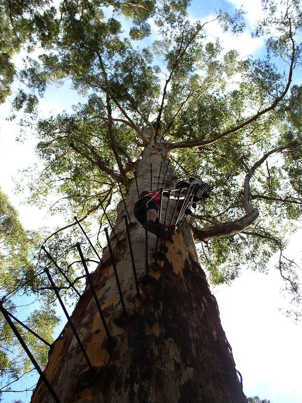 Climbing on the Gloucester tree