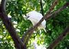 Wild cockatoo, Sydney Botanical Gardens
