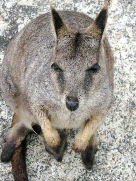 Cute wallabie will rip your hand off for food