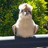 Our friendly Kookaburra