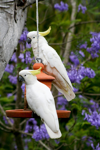 Sulphur Crested Cocktoos