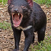 Tasmanian devil: cute until they show their fangs. Apparently jaws can open 90 degrees.