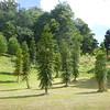 """*Wollemi pine - """"dinosaur tree"""""""