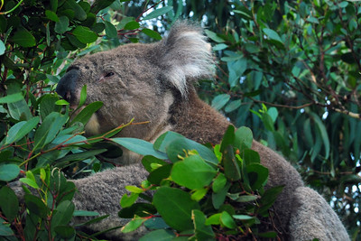 Cute Koala along the road
