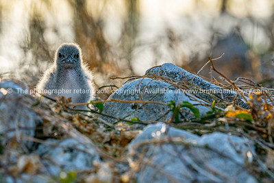 Bridled tern chick on ground among dry grass and rock on Lady Elliot Island, Queensland .