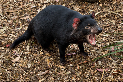 Tasmanian Devil, Bonorong Wildlife Sanctuary