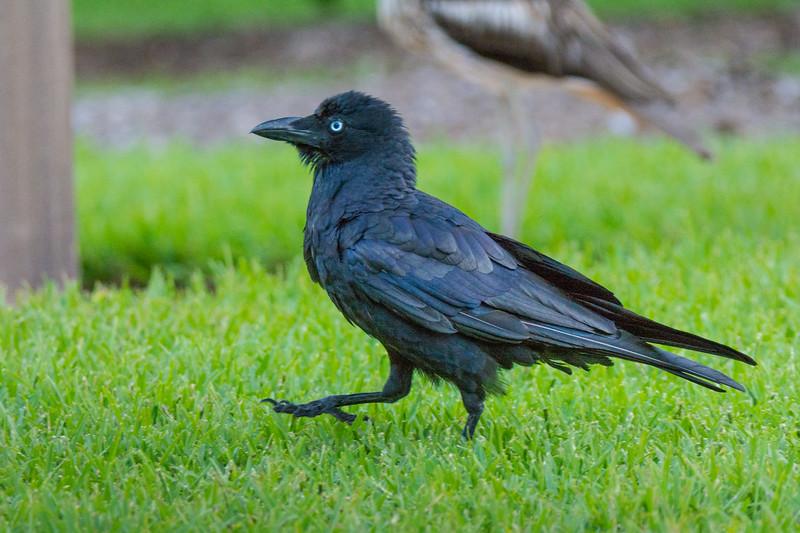 A Torresian Crow, or Australian Crow (Corvus orru cecilae) at the Botanic Gardens in downtown Brisbane, Queensland, January 2017. [Corvus orru cecilae 007 Brisbane-Australia 2017-01]