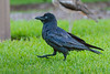 A Torresian Crow, or Australian Crow (Corvus orru cecilae) at the Botanic Gardens in downtown Brisbane, Queensland, January 2017. [Corvus orru cecilae 007 Brisbane-Australia 2017-01]