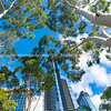 Towering city high-rise buildings around stack white gum tree trucks below from low point of view looking up.
