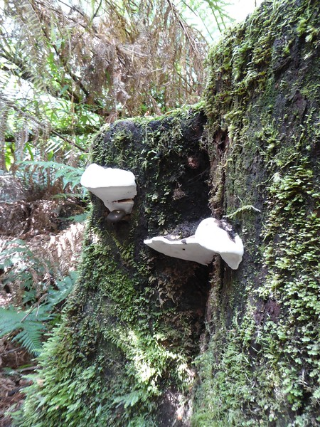 Weird fungas commonly seen on old trees in Tasmania