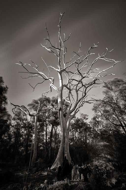 Gnarly tree, Gidgegannup, Western Australia