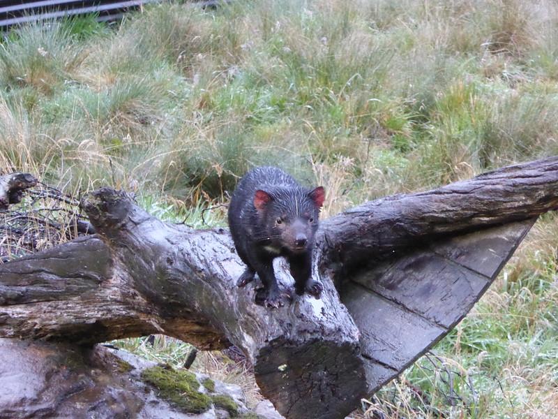 Tasmanian Devil at Devils @ Cradle