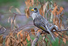 A Noisy Miner (Manorina melanocephala) of the southern subspecies at Chirnside Park, Melbourne, January 2017. [Manorina melanocephala melanocephala 001 Melbourne-Australia 2017-01]