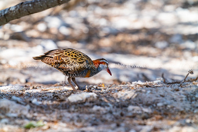 Dusty banded rail on ground