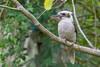 Laughing Kookaburra (Dacelo novaeguineae) at Tahlee, NSW, January 2017. [Dacelo novaeguineae 001 Tahlee-NSW-Australia 2017-01]
