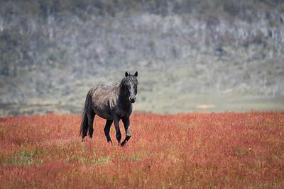 Wild Brumby Stallion ... NSW ... Australia