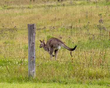 Wild Kangaroo, Hunter Valley
