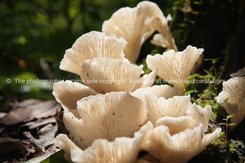 White fungi, unidentified, in Queensland rain forest, Australia.