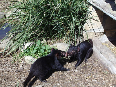 Tasmanian Devils fighting over lunch!