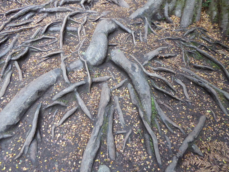 Tree Roots, Mait's Rest, Otways NP